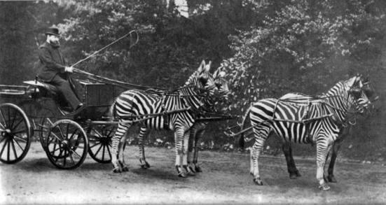 Công tước Walther Rotschild, ân nhân của chủ nghĩa Zion, ở đây chơi nổi tại London với xe tứ mã ngựa vằn (Cường Đô la đâu rồi, ra mà xem)!