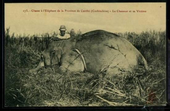 Hình 1 - Một con voi bị bắn hạ ở cánh đồng thuộc tỉnh Cần Thơ thời Pháp thuộc (nguồn: http://www.delcampe.net/page/list/language,E,cat,6556,var,Postcards-Asia-Vietnam.html).